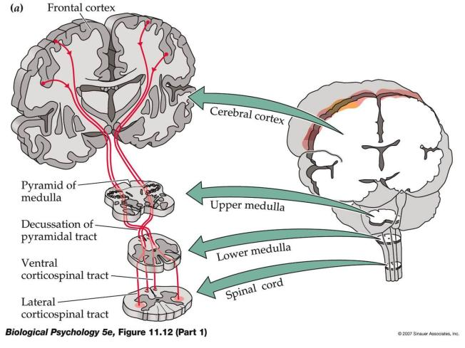 Corticospinal tracts