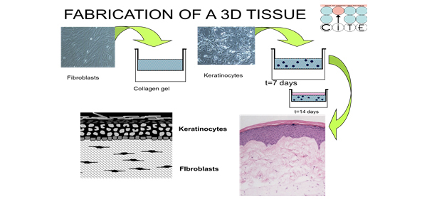 Fabrication of three-dimensional tissue construction. (A) A collagen gel embedded with human dermal fibroblasts is layered onto a polycarbonate membrane. (B) After dermal fibroblasts contract and remodel the collagen matrix, keratinocytes are then seeded onto it to create a monolayer that will form the basal layer of the tissue. (C) Tissues are raised to an air-liquid interface to initiate tissue development that mimics in vivo skin.