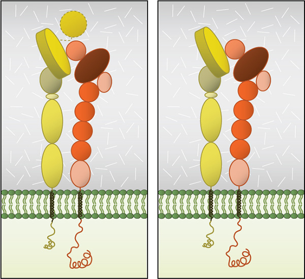 Integrin Dimer Structure: Globular domain structures of α and β subunits in a stable dimer. Ligand binding happens at the interface of the αI (left panel) or β-propeller (right panel) and the βI domain.