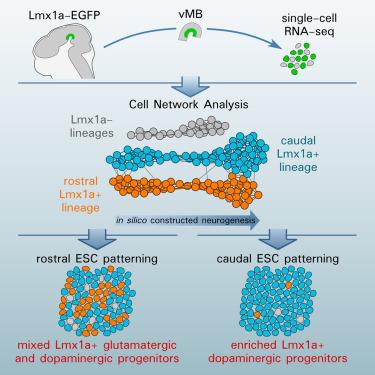 lmx1a-expressing-cells