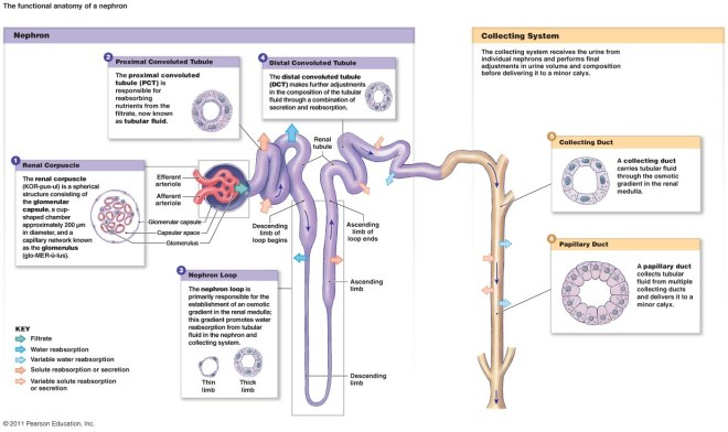 nephronanatomy