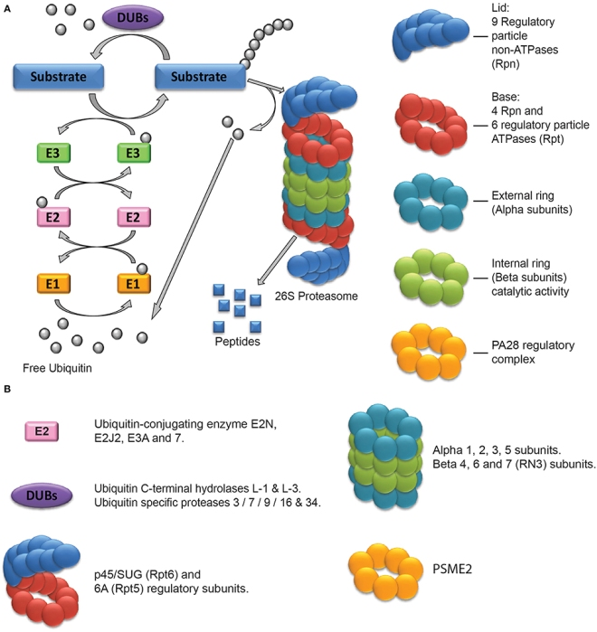 Proteasome figure