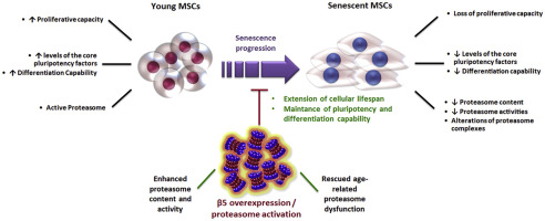 proteasomes-and-stem-cells
